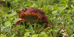Tomato Frog by Francesco Veronesi @flickr