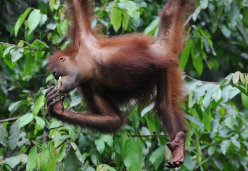 Comprehensive New Protections Announced for Orangutans in Malaysia