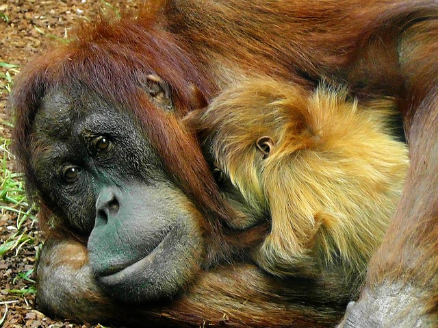 Four Baby Orangutans Give Hope to Wildlife Protection in Malaysia
