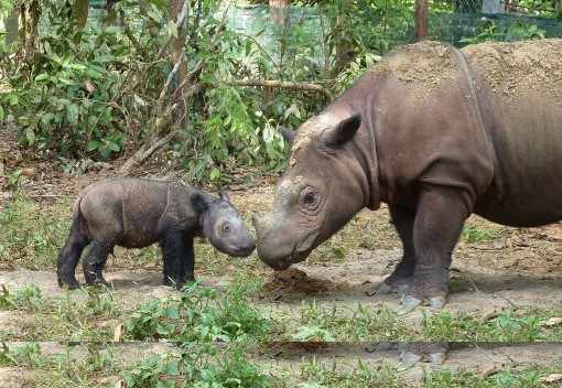 Malaysia Scrambles to Save the Sumatran Rhinoceros