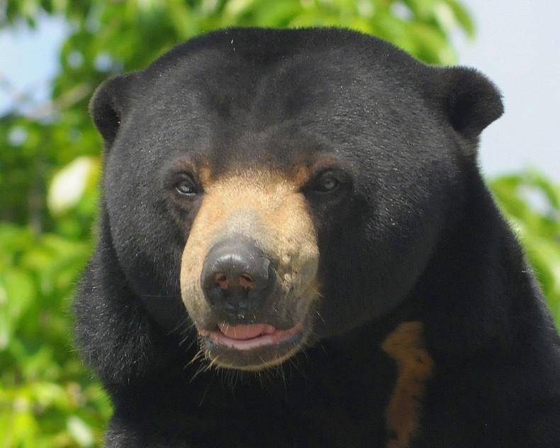 Threats to Bornean Sun Bear Evidence Illegal Poaching in Malaysia