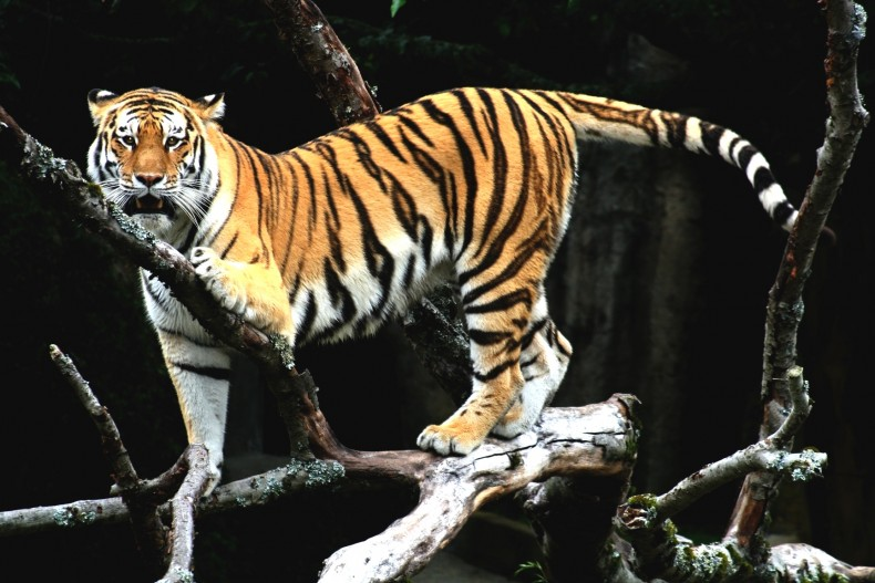 New Survey to Reveal the Fate of the Malayan Tiger