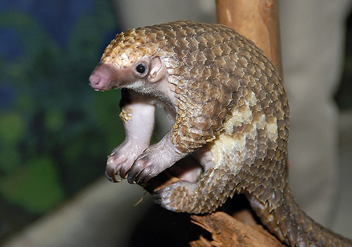 Meet the Pangolin: A Sign of the Times in Malaysia