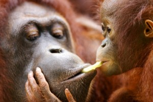 Orangutans are threatened both by habitat destruction and illegal wildlife trading. Photo Credit: Gapyear.com