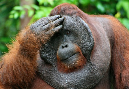Endangered Orangutans Suffer from Haze 2015