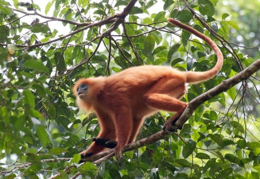 Meet the Maroon Langur