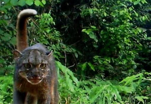 Researchers Spot Elusive Bornean Bay Cat
