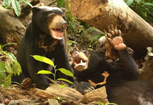 Sun Bears in Sabah are Falling Prey to Poaching, Abuse and Neglect