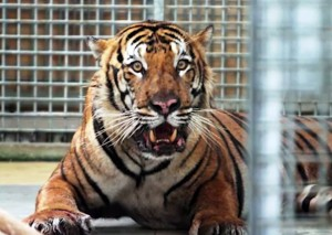 The elderly male tiger, named Yeop Tapah, will spend the rest of his days behind bars. Photo Credit: The Star