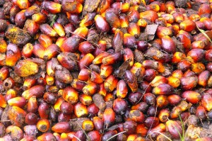 Palm fruit, from which palm oil is derived, is a lucrative crop, but its cultivation frequently wreaks havoc with forests. Photo Credit: Rainforest Action Network via Flickr