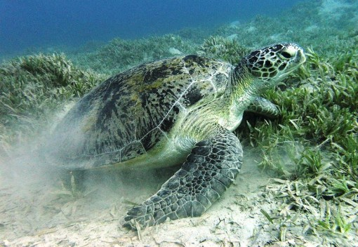 Green Turtle Deaths Raise Alarms about Fate of Gentle Reptiles in Terengganu