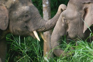 A male and a female pygmy elephant share a tender moment. Photo Credit: Flickr