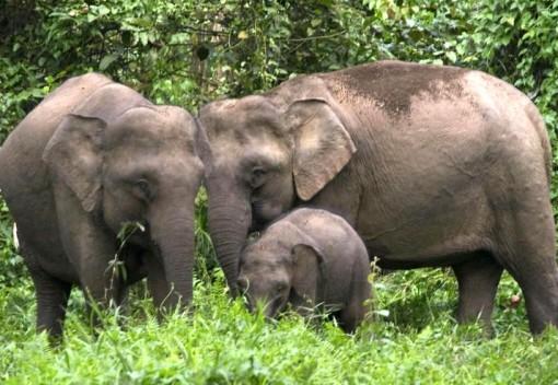 Sabah's Wild Elephants are Facing a Dangerous Genetic Bottleneck