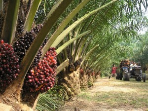 Much of Malaysia's palm oil industry depends on a tiny weevil for pollinating plants. Photo Credit: KINIBIZ Online