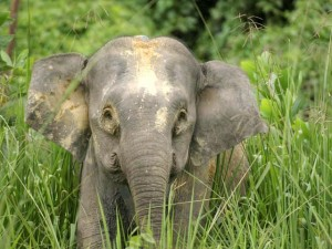 An orphaned baby elephant poses for a photograph in Sabah. Photo Credit: WWF-Malaysia