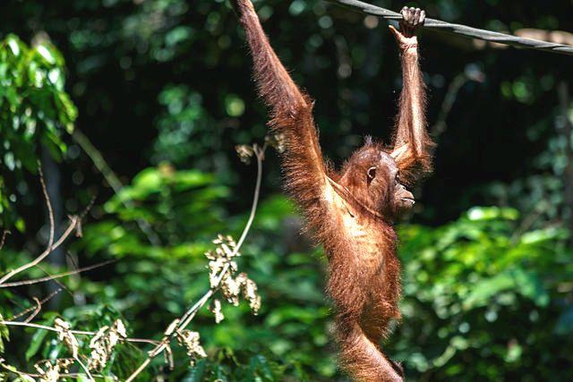 Orphaned Orangutans See their Numbers Drop in Sabah