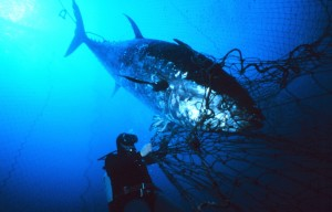 An Atlantic blue tuna is ensnared in a net. The species has been overfished to the point of near-extinction. Photo Credit: Wikimedia Commons