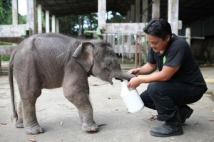 "A wildlife official attends to an orphaned three-month-old baby pygmy elephant called ""Joe"" at the Lok Kawi Wildlife Park in Sabah state. Photo Credit: Sabah Wildlife Department"