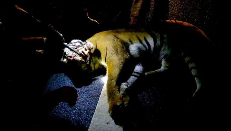 A Pregnant Female Tiger is Killed in a Road Accident