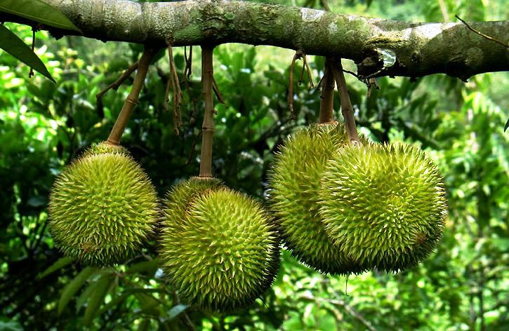 Durian Farmers Will March on Parliament in Protest at Bauxite Fiasco