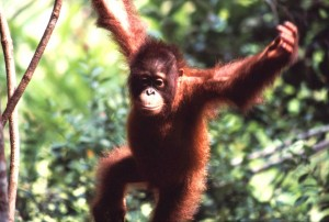 A young Bornean orangutan swings in the trees. Photo Credit: Wikimedia Commons