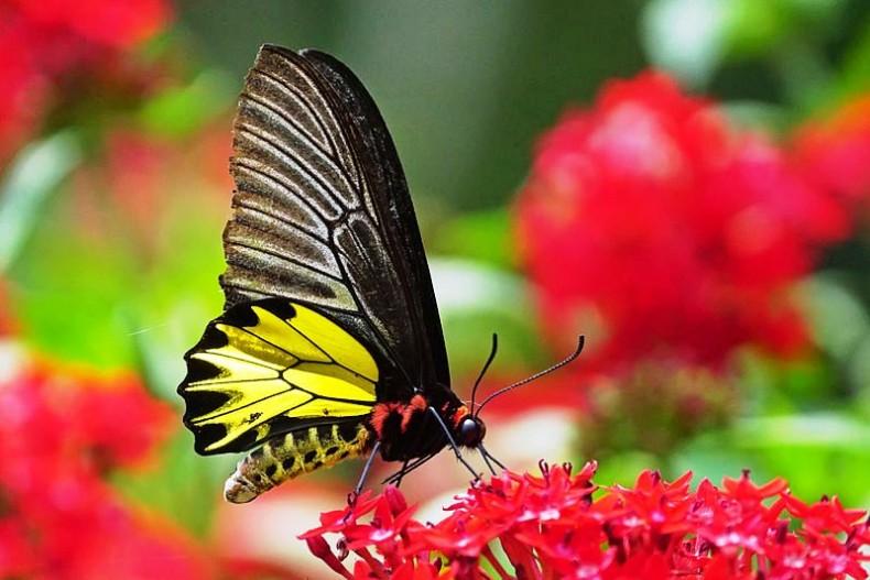 Butterflies serve Vital Roles for City Parks. So do City Parks for Butterflies