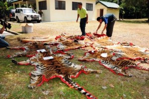 Wildlife officials display tiger pelts seized from wildlife traffickers. Photo Credit: Perhilitan