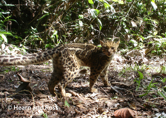 Sabah's elusive Marbled Cats are Caught on Camera