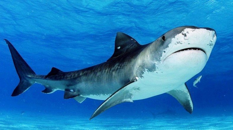 Sabah Will Turn 3 Marine Parks into Sanctuaries for Beleaguered Sharks