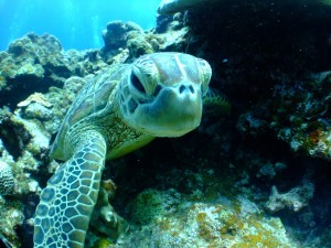 A mature green turtle potters around underwater. Photo Credit: Pixabay