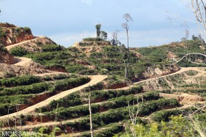 The result of forest having been cleared for an oil palm plantation on mineral soils in Sarawak. Photo Credit: Mongabay