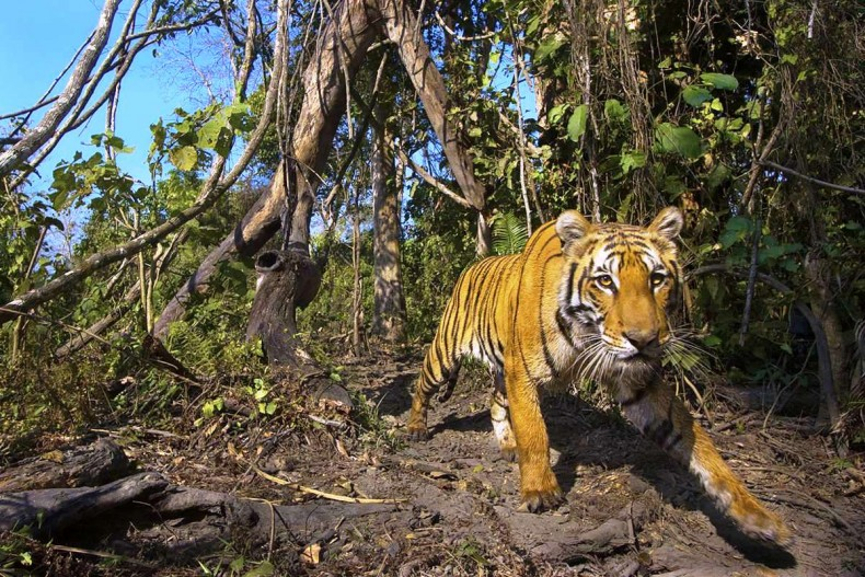 Global Tiger Numbers have Risen, but Let's Not Celebrate Just Yet