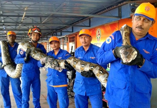 World's 'Longest' Snake is found in Penang