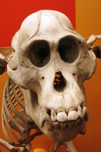 Orangutan skulls like this one were among the myriad illegal items that the pair shipped to the US from Malaysia. Photo Credit: Wikimedia Commons