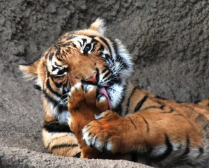 A captive Malayan tiger does a bit of self-grooming. Photo Credit: Ted via Flickr