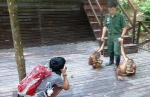 Two orphaned orangutan babies are used as tourist draws at Rasa Ria Resort. Photo Credit: Foto