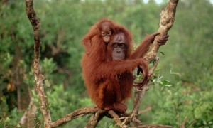 An Bornean orangutan with her baby. Photo Credit: WWF