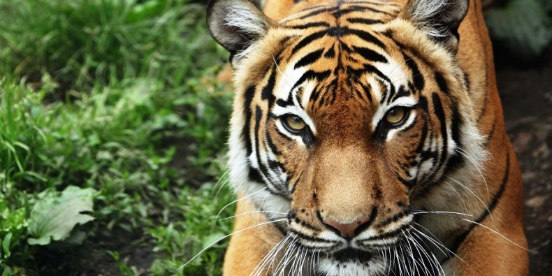 Cambodia's Tigers are Extinct. Will Malaysia be Next? Not if We Act