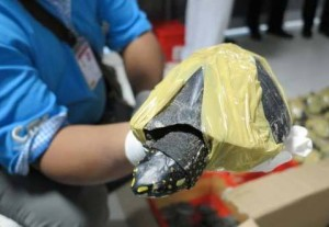 A black spotted turtle, wrapped in duct tape, is confiscated by officials. Photo Credit: TRAFFIC