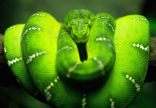 Malaysian Smugglers are caught red-handed with rare green Snakes