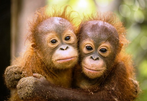 Last two Orangutans are Released from Rasa Ria Resort in Sabah