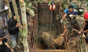 Indonesian conservationists tend to a female Sumatran rhino caught in a pit trap. She is safe and sound. Photo Credit Ari Wibowo via WWF