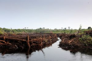 The decimated remains of a peat forest make for a heart-wrenching site. Photo Credit: Mongabay