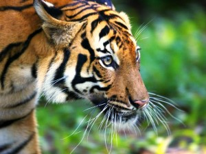 Malayan tigers need plenty of roaming ground in the wild. Photo Credit: WWF