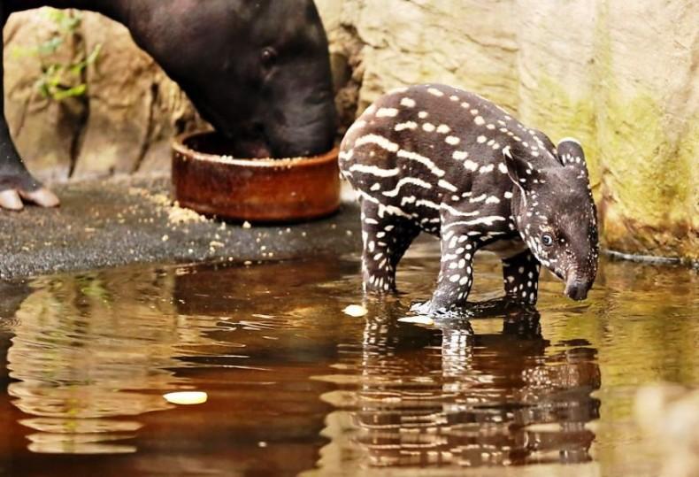 Malayan Tapir is born in Japan