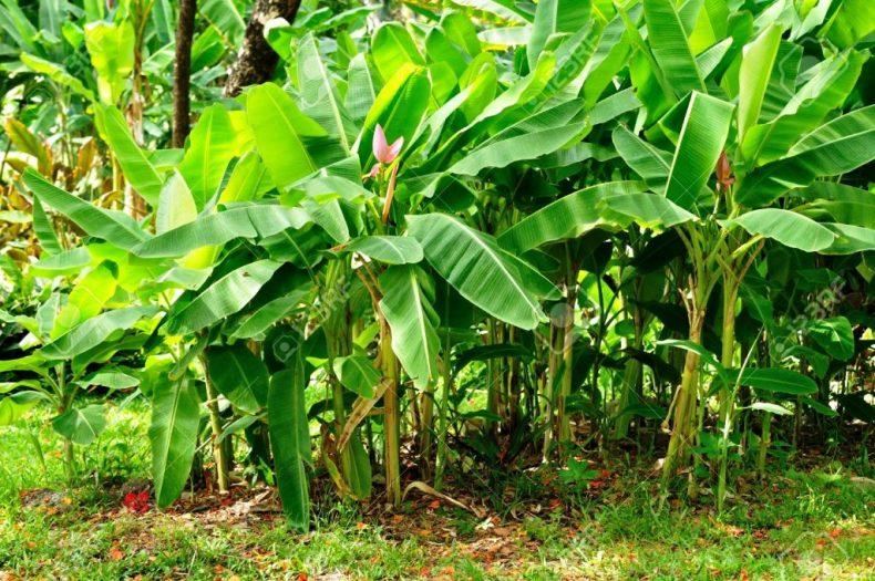 Pahang farmer grows Bananas and Cassavas in Bauxite-damaged Soil