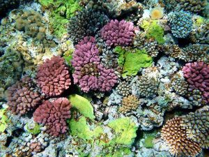 Organisms often cover every square centimeter of corals. Photo Credit: Wikimedia Commons