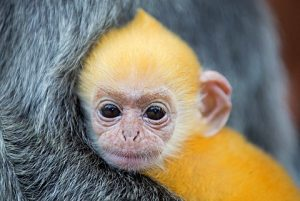 "Baby silvered leaf monkeys are popular as exotic pets because they are seen as ""cute."" Photo Credit:  Robert Harding"