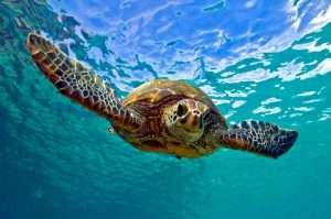 A green sea turtle takes a dive. Photo Credit: Wikimedia Commons