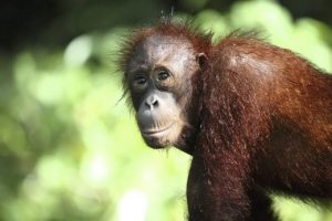 Yoda, a male orangutan in Sepilok, was recently electrocuted after he escaped from the premises. Photo Credit: Borneo Twenty Ten via World Nomads